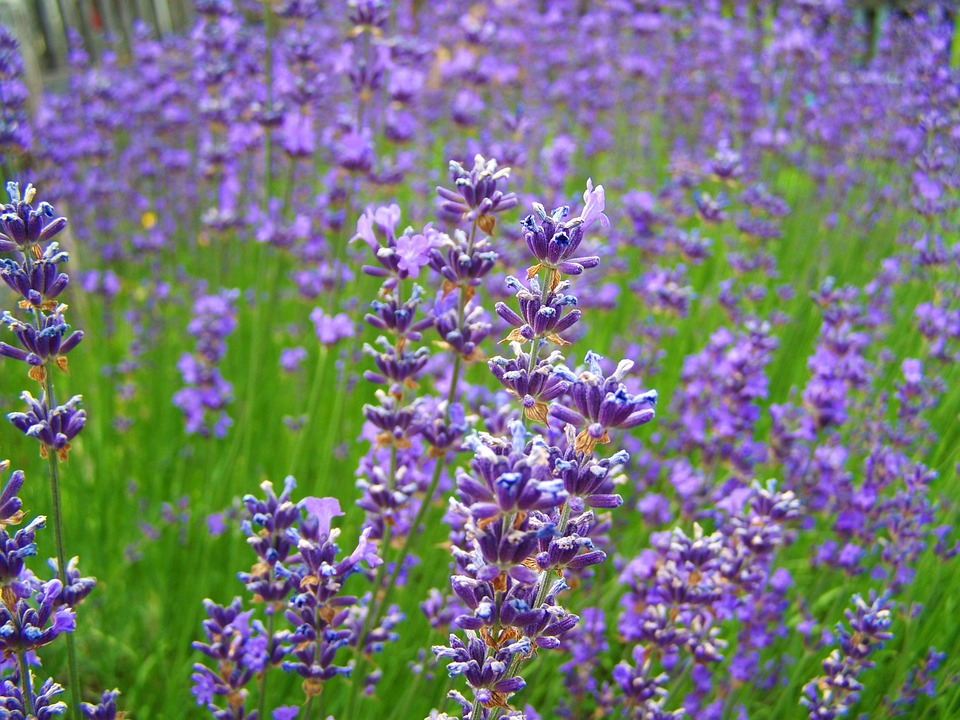Lavender Meadow Pale Purple Field Summer Flower